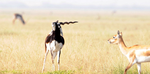 Blackbuck National Park Bhavnagar